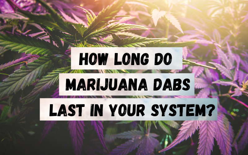 How Long do Marijuana Dabs Last in Your System Los Angeles
